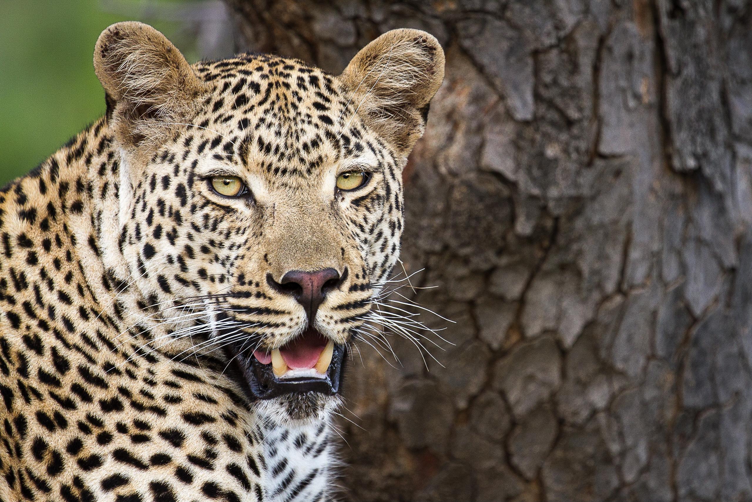 2018-Leopard-Londolozi