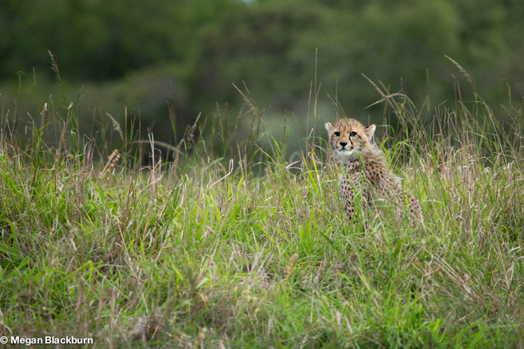 Best time to Travel - Cheetah Cub.jpg
