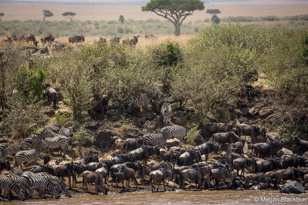 Masai Mara - Crossing View