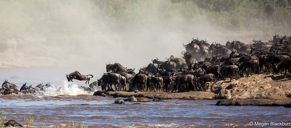 Masai Mara - Large Crossing Wildebeest Leaping
