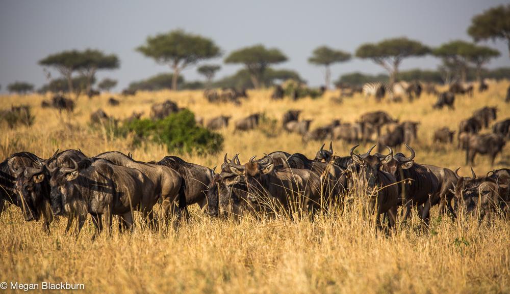 Masai Mara - Wildebeest Herd