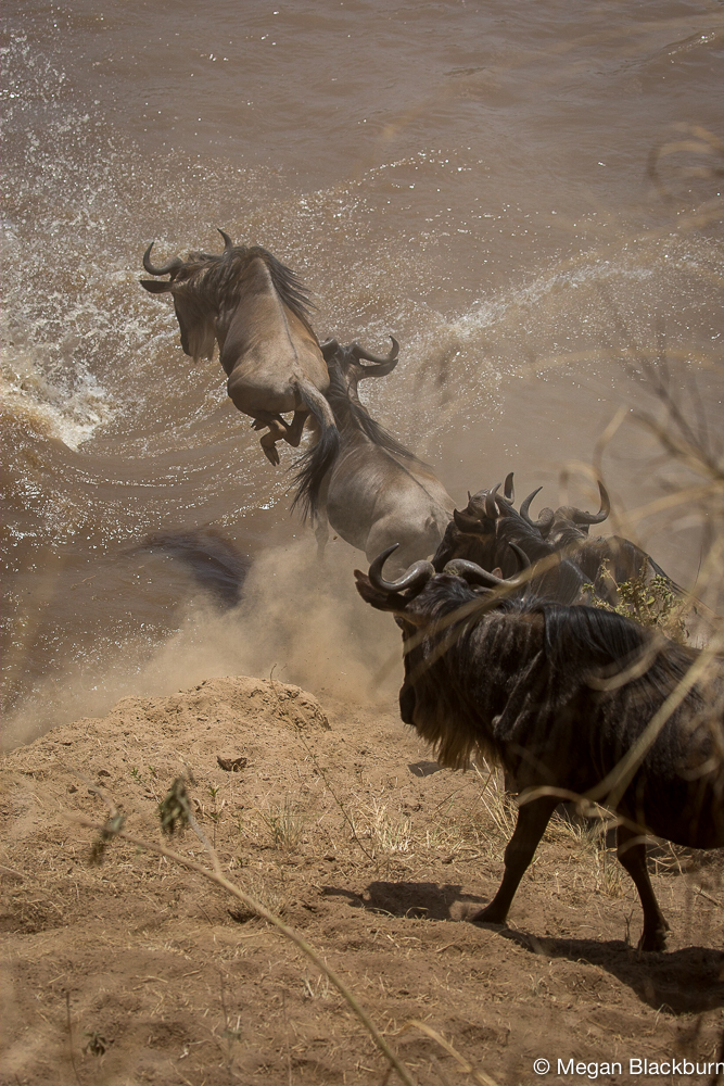 Serengeti -Small Crossing Jumping Wildebeest 2