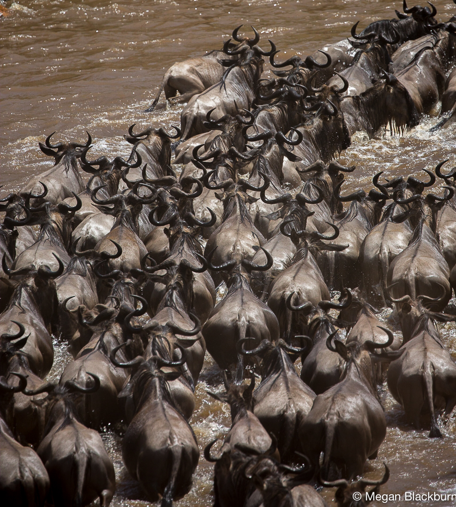 Serengeti - Wildebeest from above 2