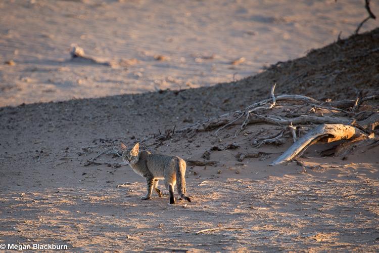 Hoanib African Wild Cat