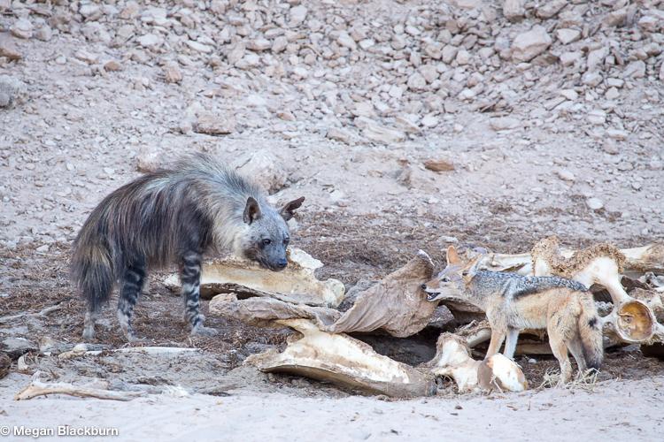 Hoanib Brown Hyena and Jackal