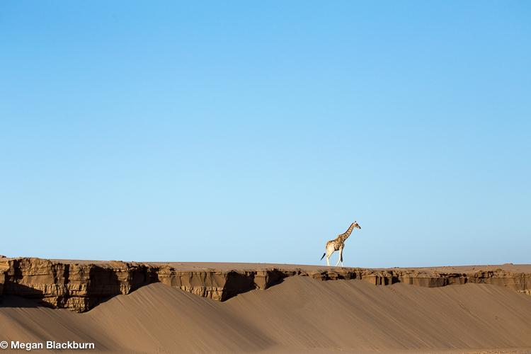 Hoanib Giraffee Walking Along River Bank