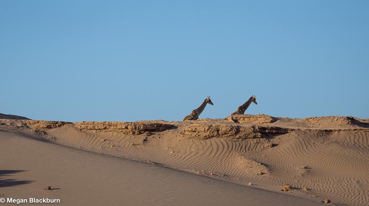 Hoanib Giraffees and Sand Dunes