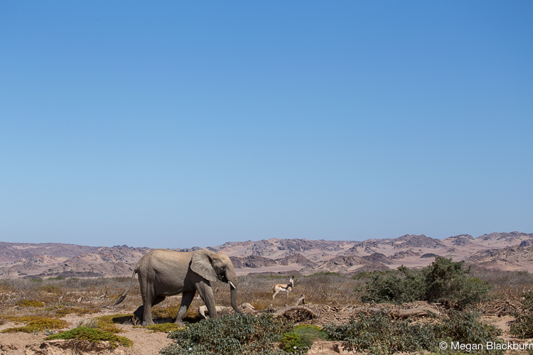 Hoanib Elephants in the Riverbed 2