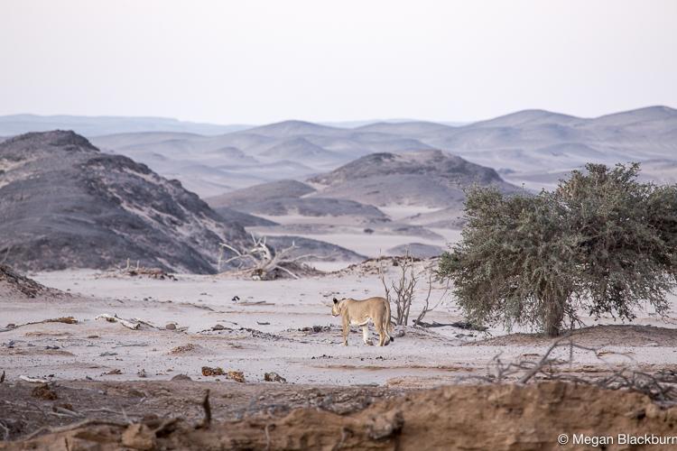 Hoanib Lion Walking Away