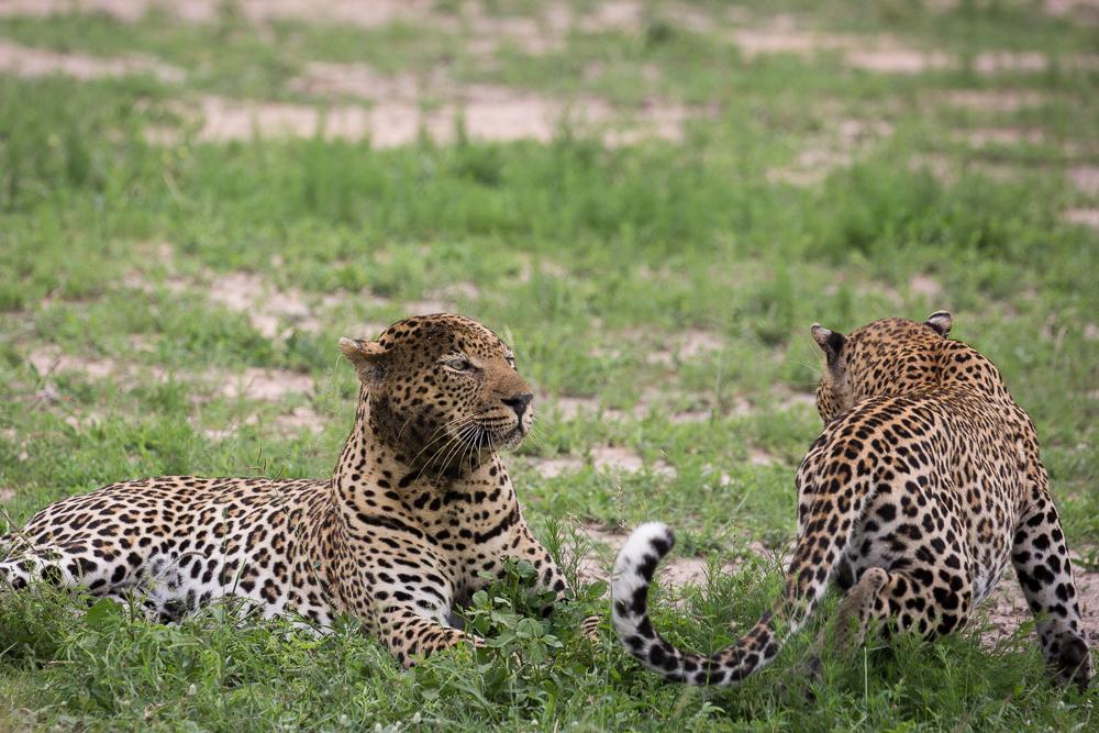 Londoz_Leopard Seduction II