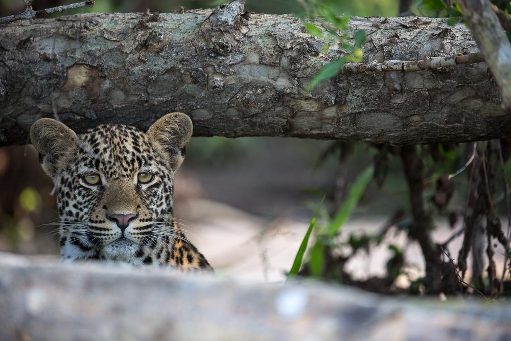 Londoz_Leopard_Cub_Hiding