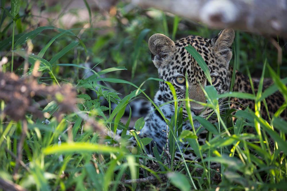 Londoz_Leopard_Cub_Secreted_Away