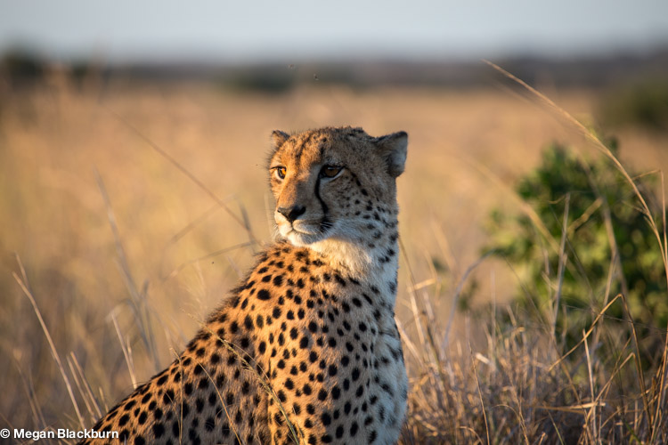 Phinda May Cheetah 1.jpg