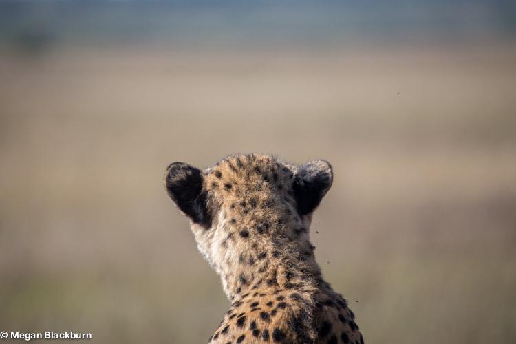 Phinda May Cheetah 2.jpg