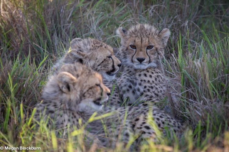 Phinda May Cheetah Cubs.jpg