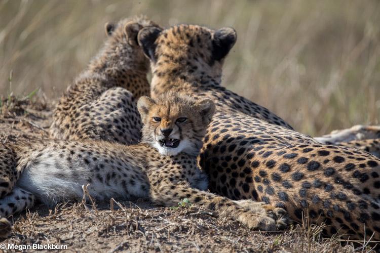 Phinda May Cheetah and Cubs 1.jpg