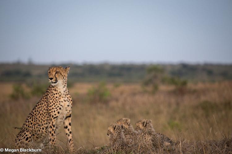 Phinda May Cheetah and Cubs.jpg