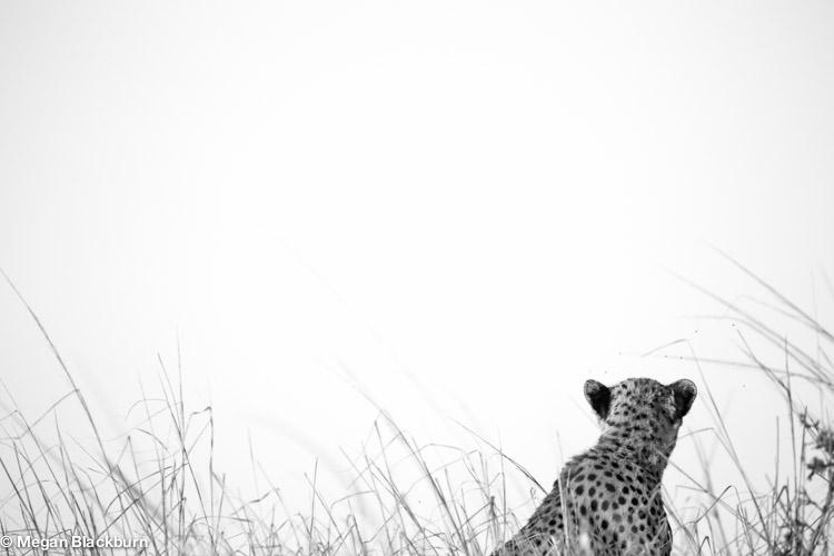 Phinda May Cheetah black and white 1.jpg