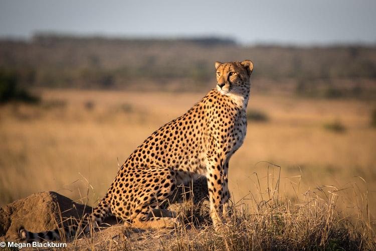 Phinda May Cheetah_.jpg