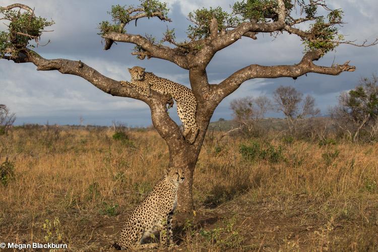 Phinda May Cheetahs in Marula Tree 2.jpg