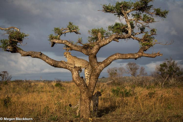 Phinda May Cheetahs in Marula Tree.jpg