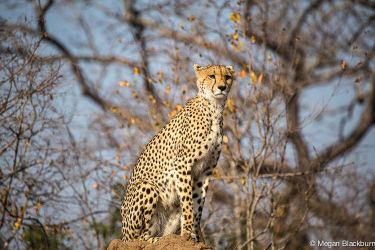 Photo Tips 2 centered cheetah