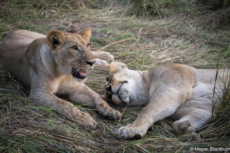 Photo Tips Lions Sleeping