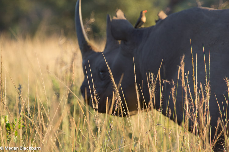 Photo Tips Out of focus Rhino