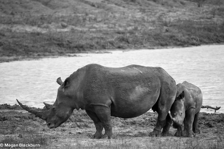 Save the Rhinos Black and White 2.jpg
