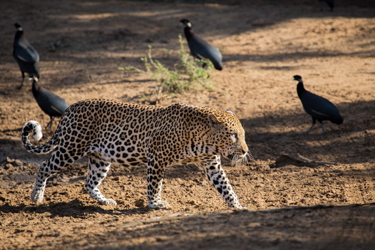 Phinda May Leopard Drinking 3.jpg