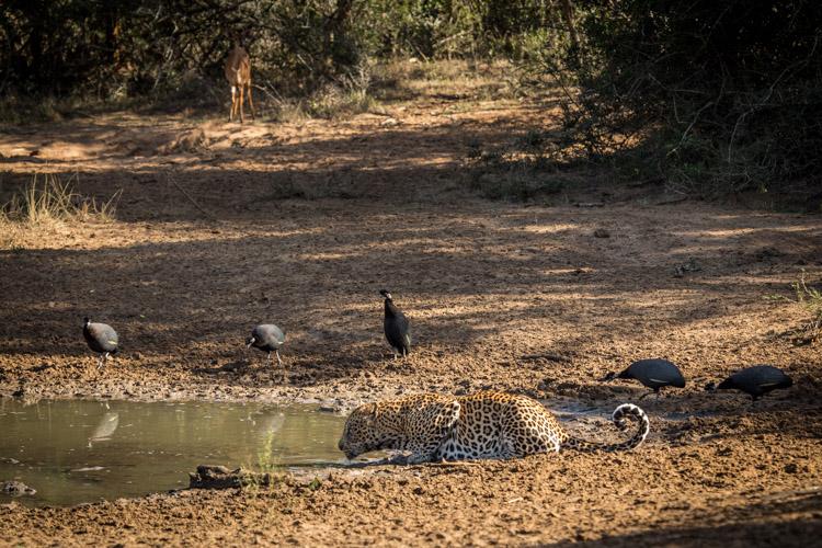 Phinda May Leopard Drinking 4.jpg