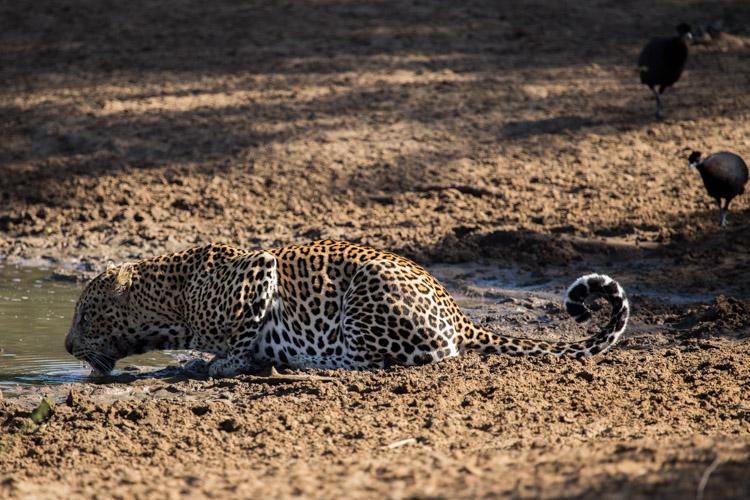 Phinda May Leopard Drinking 5.jpg