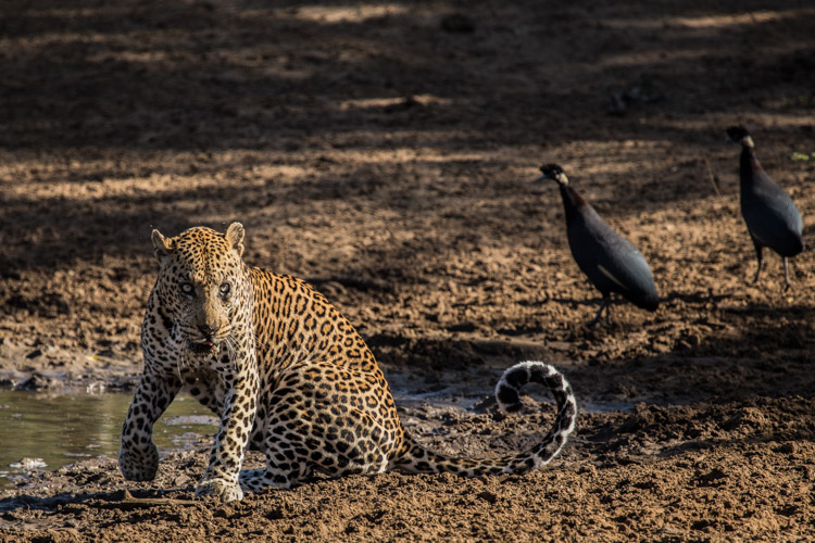 Phinda May Leopard Drinking 6.jpg