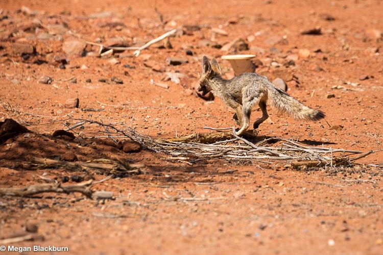 Tswalu Cape Fox
