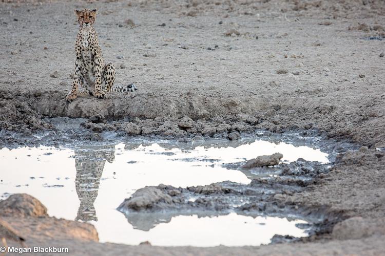 Tswalu Cheetah Reflecting