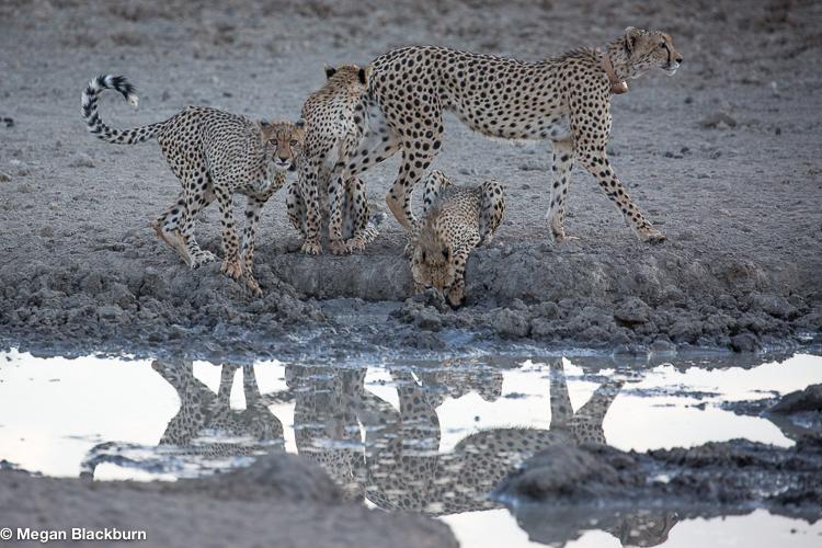 Tswalu Cheetah with Cubs