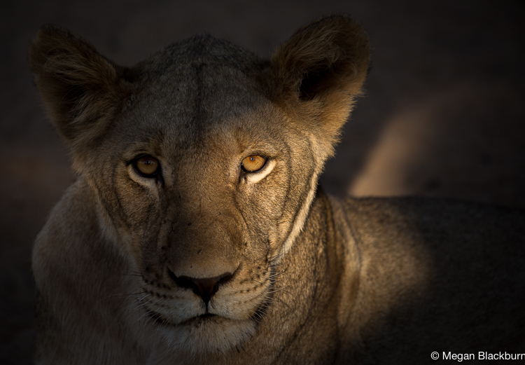 Tswalu Lion Shadow on Face