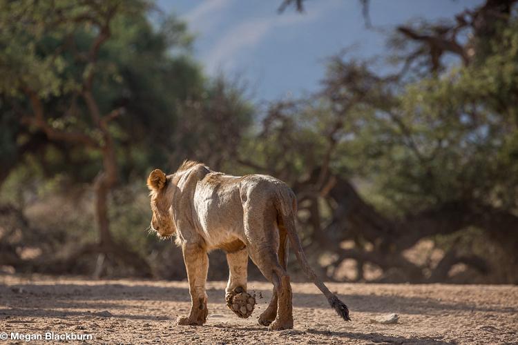 Tswalu Lion Walking Away