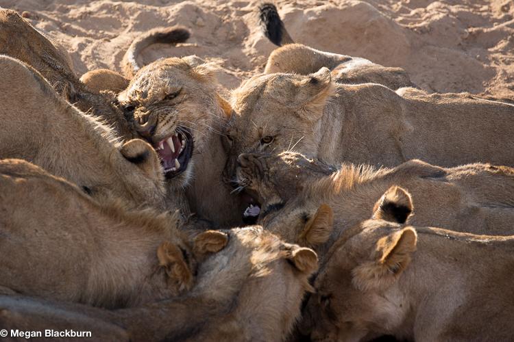 Tswalu Lions Fighting Over Water