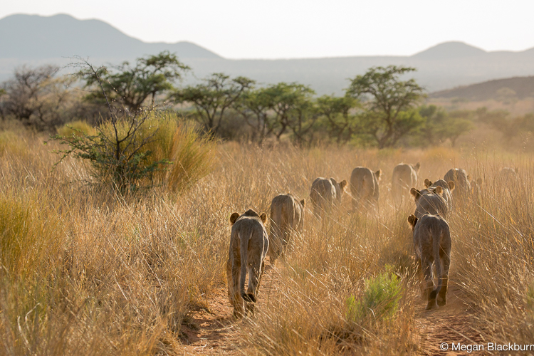 Tswalu Lions Walking on Road