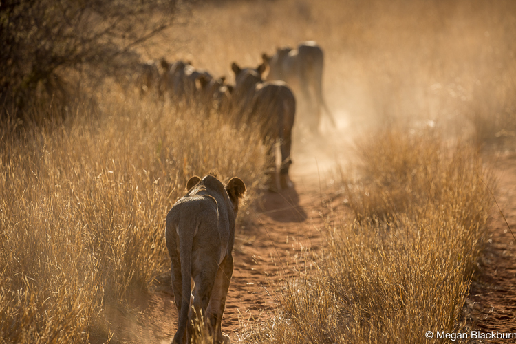 Tswalu Lions on the road