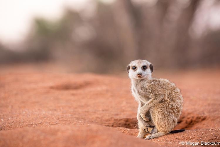 Tswalu Meerkat Crouched
