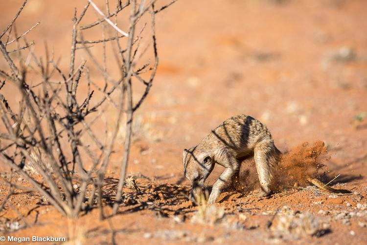 Tswalu Meerkat Digging