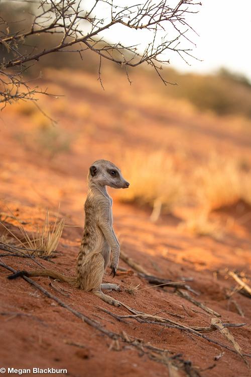 Tswalu Meerkat Teenager