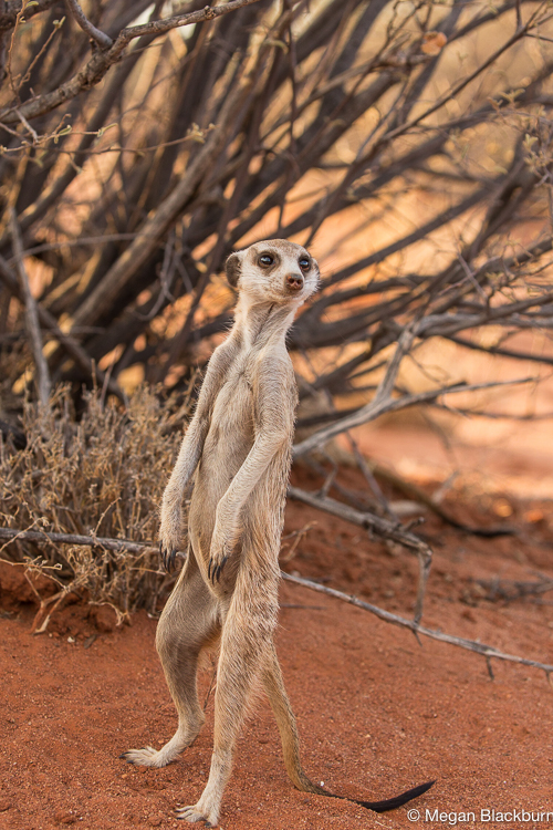 Tswalu Meerkat in front of a bush