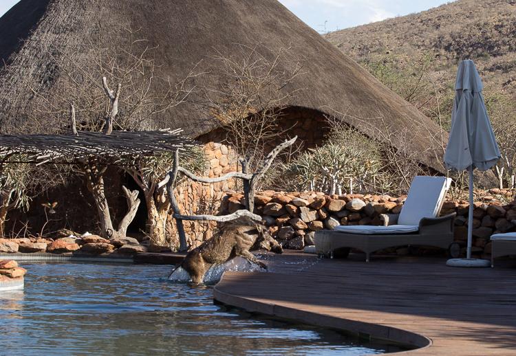 Tswalu Warthog in Pool