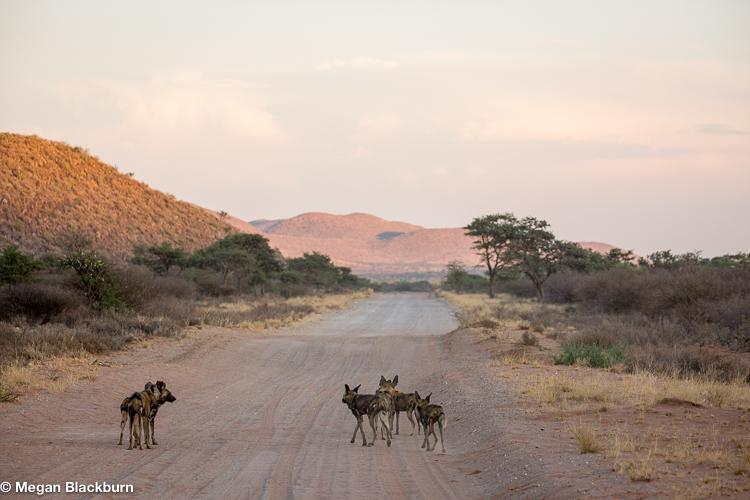 Tswalu Wilddogs on the road